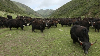 Wilde Yaks in China | Bild: BR/Jan Kerckhoff/Susanne Delonge