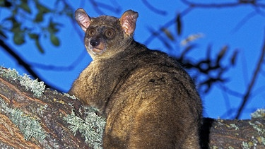 Galago | Bild: picture-alliance/dpa