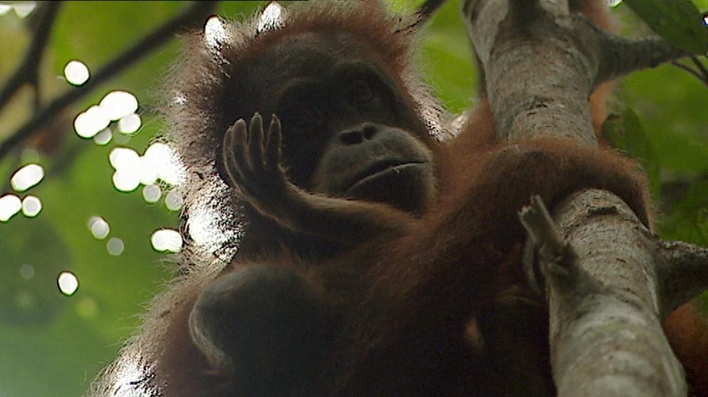 Das Sterben der Orang-Utans ist dramatisch