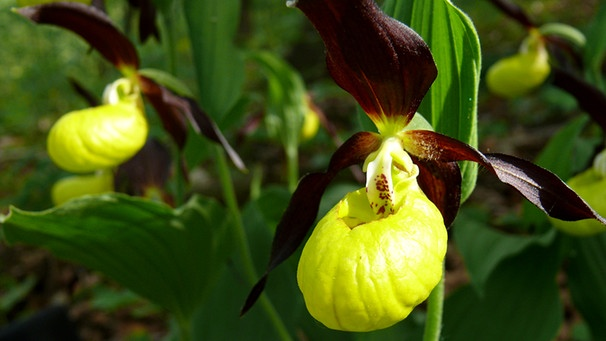 vom ahorn bis zur zwiebel die orchidee vom ahorn bis. Black Bedroom Furniture Sets. Home Design Ideas