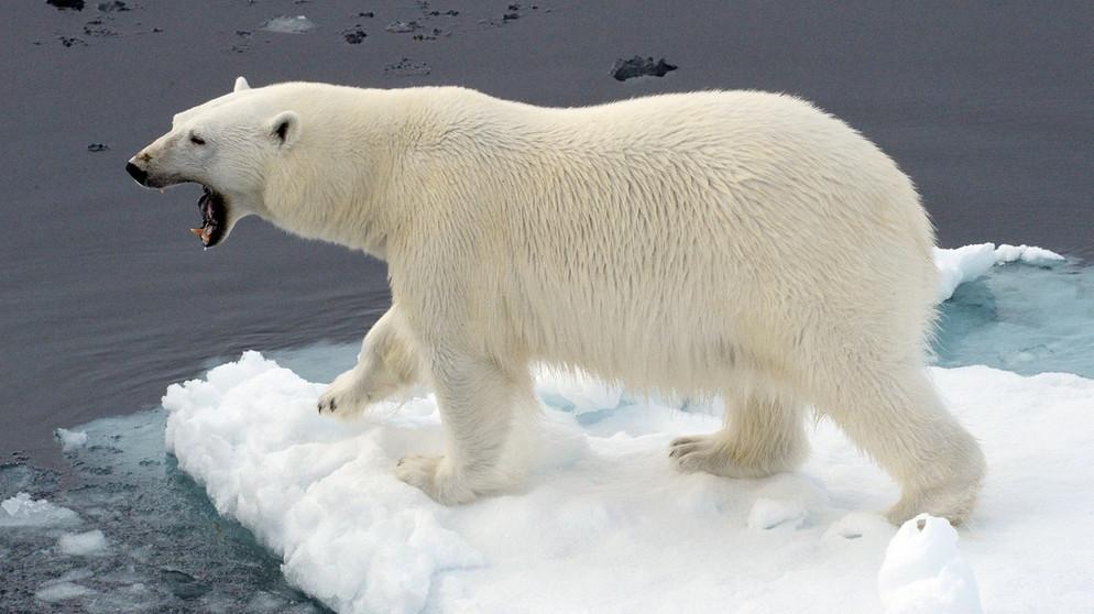 Klimawandel am Nordpol: Schmelzendes Polareis lässt