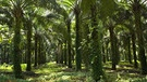 Palmölplantage in Sumatra, Indonesien | Bild: picture-alliance/dpa
