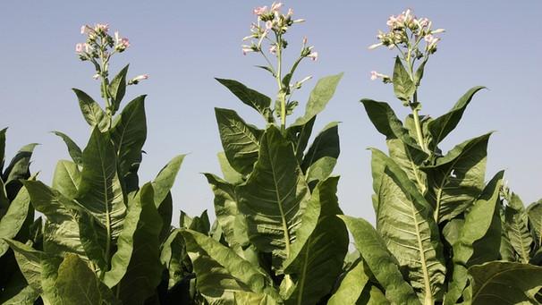 gef hrliche verf hrerin die tabakpflanze mensch natur und umwelt radiowissen bayern 2. Black Bedroom Furniture Sets. Home Design Ideas