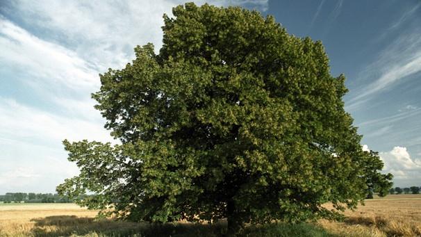 wo wir uns finden da steht ein lindenbaum zeit f r. Black Bedroom Furniture Sets. Home Design Ideas