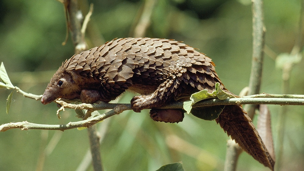 Bedrohte Tierart auf der Roten Liste: Schuppentier (Pangolin): Long-tailed Pangolin (Manis tetradactyla) | Bild: picture alliance/Mary Evans Picture Library