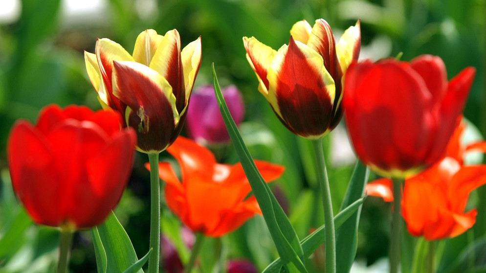 Tulpen | Bild: picture-alliance/dpa