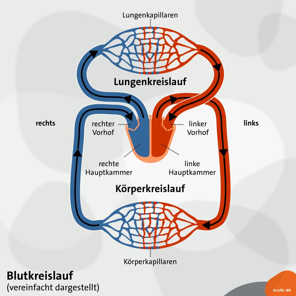 Blutkreislauf: Körper- und Lungenkreislauf vereinfacht | alpha ...