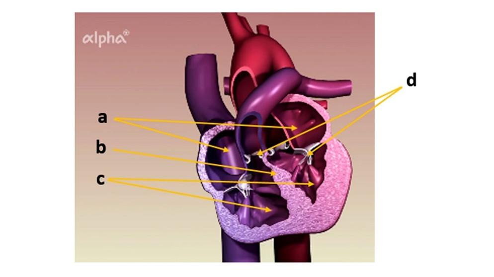 Blutkreislauf: Übungen - Herzmuskel | Biologie | alpha Lernen | BR.de