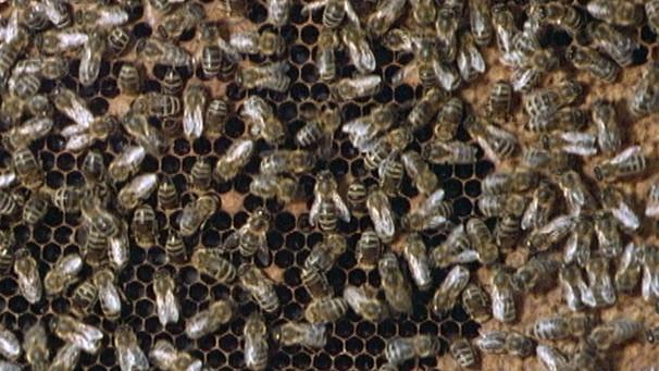 Tiere der Heimat: Der Bienenstaat | Schulfernsehen | ARD-alpha ...