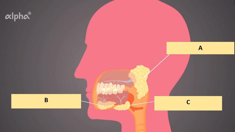 Verdauung: Mund und Zunge - Übungen | Biologie | alpha Lernen | BR.de
