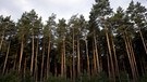 Kiefernwald | Bild: picture-alliance/dpa