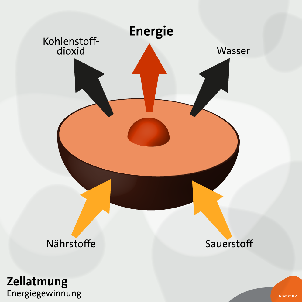 Atmung : So funktioniert die Atmung | Biologie | alpha Lernen | BR.de