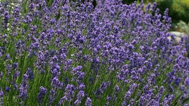 Schnittgut alles aus dem garten br fernsehen - Lavendel zimmerpflanze ...