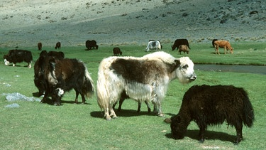 Yaks in der Mongolei | Bild: picture alliance / WILDLIFE