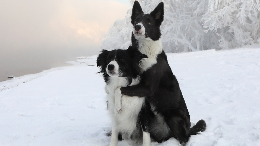Border Collies im Schnee | Bild: picture-alliance/dpa/Sputnik/Ilya Naymushin