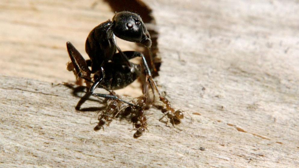 natur exclusiv : Krieg der Ameisen