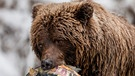 Wildes Kanada: Grizzlybär | Bild: BR/Brian Leith Productions/WDR/Ben Wallis