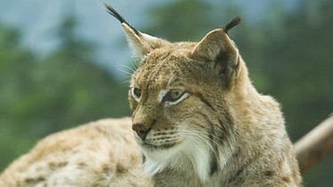 Luchs | Bild: colourbox.com