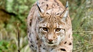 Luchs am Main | Bild: BR/Blue Paw Artists