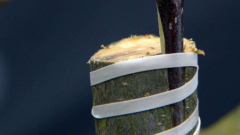 apfelbaum veredeln alte apfelsorte vermehren besondere sonnenuhren aus apfelbaum veredeln. Black Bedroom Furniture Sets. Home Design Ideas