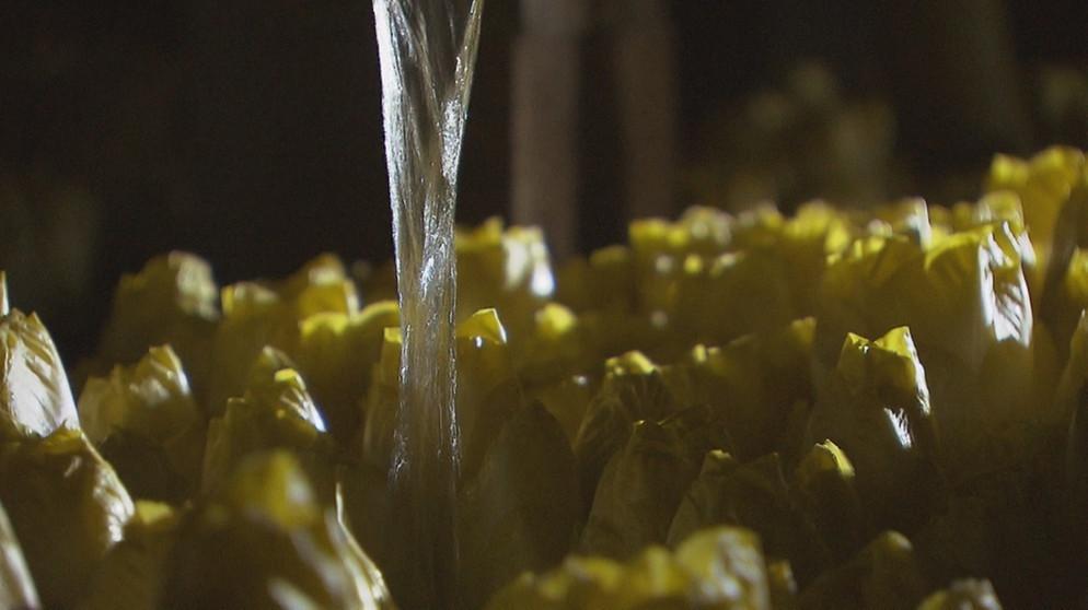 Super Chicoree-Anbau: Gutes Geschäft für Gärtner | Unser Land | BR #PX_57