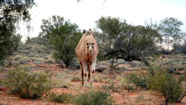 Kamele australien