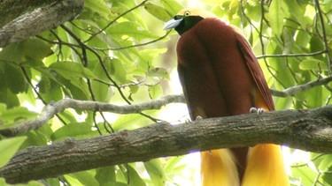 Paradiesvogel | Bild: BR/Eberhard Meyer