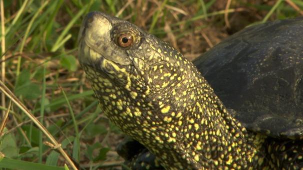 Welt Der Tiere Sumpfschildkröten In Bayern Welt Der Tiere Br