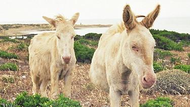 dicke weiße Esel Bilder