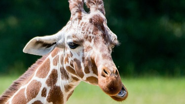 Giraffe | Bild: picture-alliance/dpa