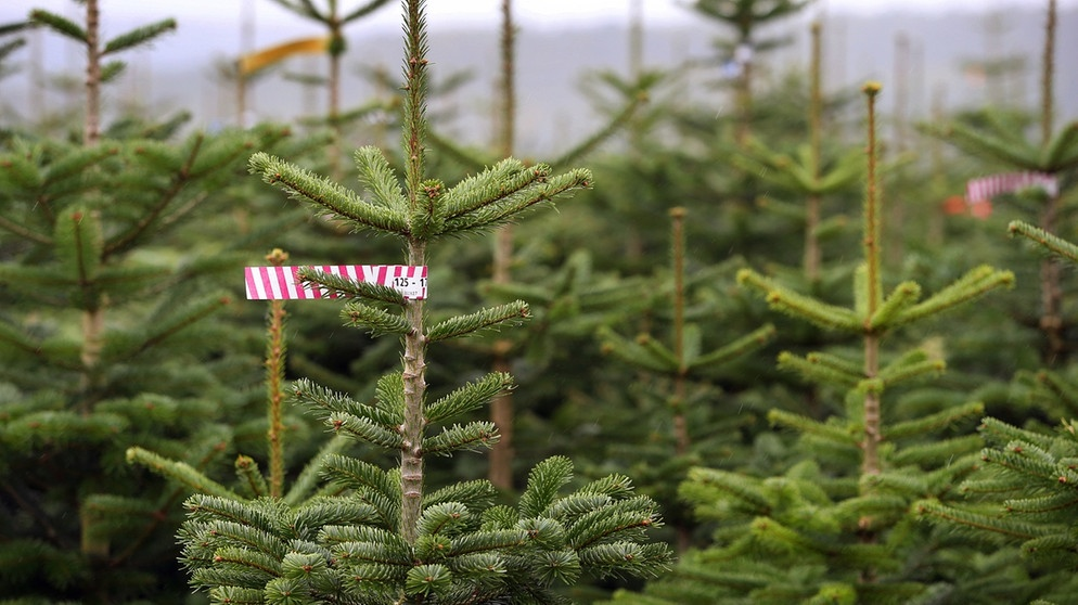 Zum mieten christbaum im topf eine nachhaltige alternative radiowelt bayern 2 radio - Christbaum alternative ...