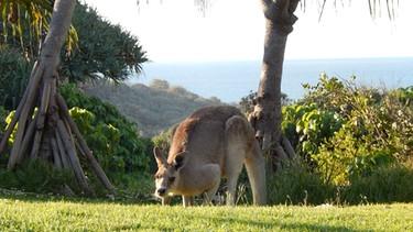 Kangaroo auf Stradbroke Island | Bild: Nils Neumann