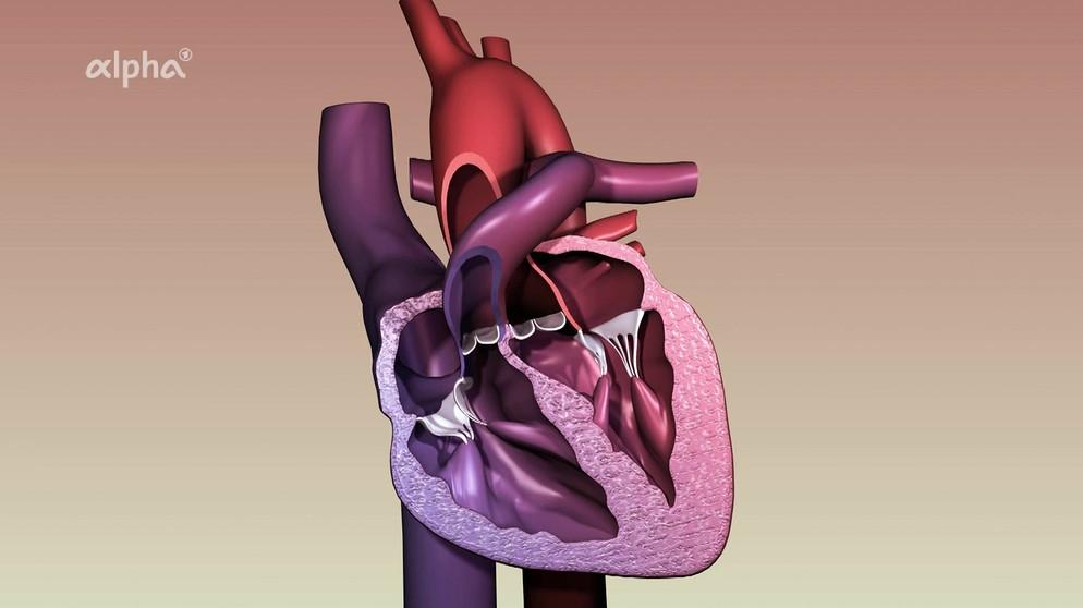 Blutkreislauf: Übungen - Herzmuskel   Biologie   alpha Lernen   BR.de