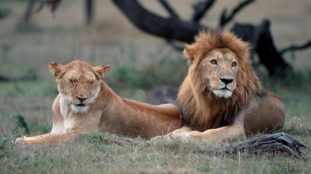 Bilder Von Löwen
