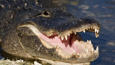 Mississippi-Alligator oder Hechtalligator (Alligator mississip., Everglades, Florida, USA, Amerika, Nordamerika | Bild: picture-alliance/dpa