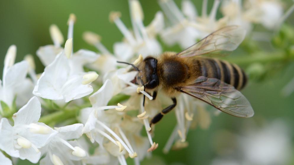 die größte biene der welt
