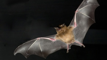 Fliegende Fledermaus | Bild: picture-alliance/dpa