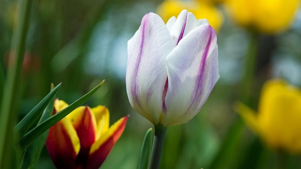 Tulpen Sultans Liebste Zwiebelchen Br Kinder Eure Startseite
