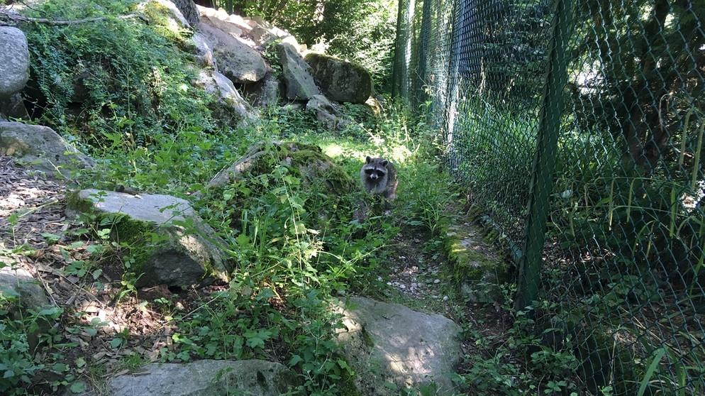 51ba4c1d956ce3 Im Waschbärgehege im Münchner Tierpark Hellabrunn.