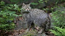 Wildkatze | Bild: picture-alliance/dpa