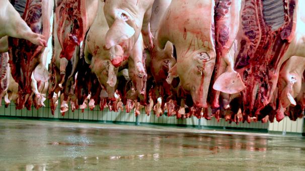 Schlachten von Schweinen | Bild: picture-alliance/dpa