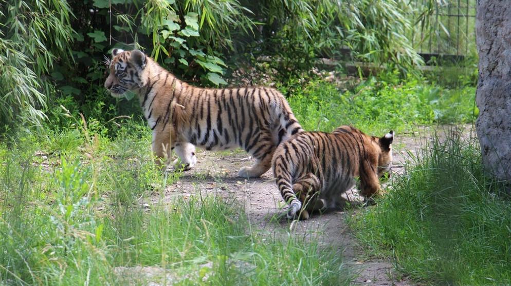Tiergarten straubing erster ausflug f r die tigerbabys - Baby wanninger straubing ...
