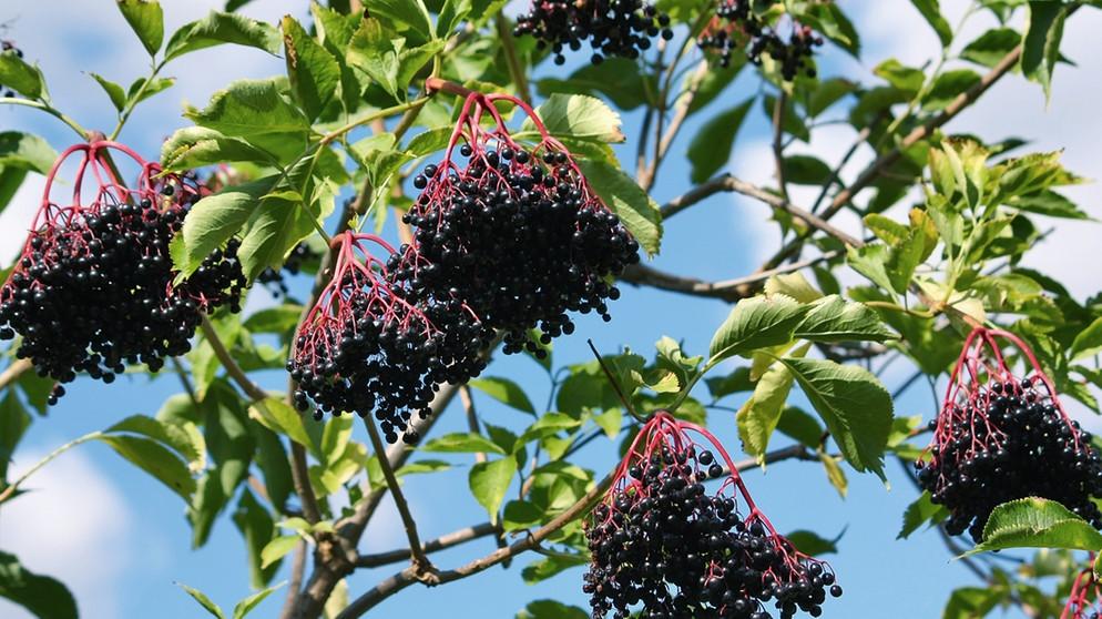 Blüten und Beeren Holunder ist vielseitig zu genieße ~ Entsafter Für Beeren
