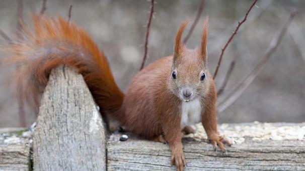 Faktenfuchs Eichhörnchen Rotten Die Schwarzen Die Roten Aus