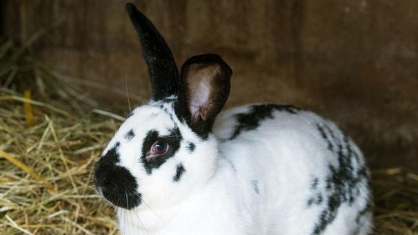 kaninchen pest an der donau tierarzt spricht von epidemie schwaben nachrichten. Black Bedroom Furniture Sets. Home Design Ideas