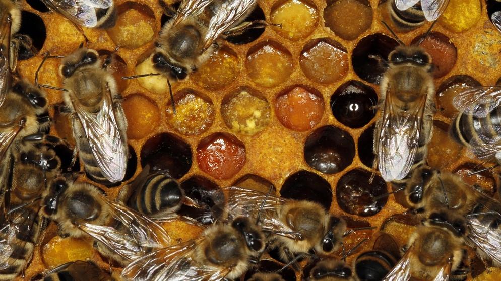 bienensterben veitsh chheimer bienenexperten finden mittel gegen varroa milben unterfranken. Black Bedroom Furniture Sets. Home Design Ideas