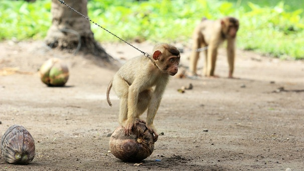 Foodtrend Vs Tierschutz Wenn Dressierte Makaken Eure Kokosnuss