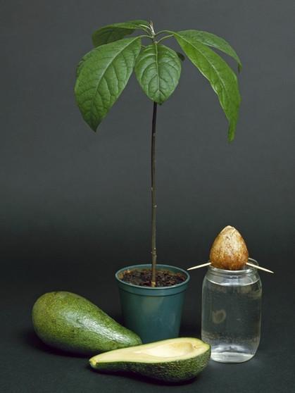 Extrem Avocado ziehen: Aus dem Kern ein Bäumchen ziehen - so klappt's AT45
