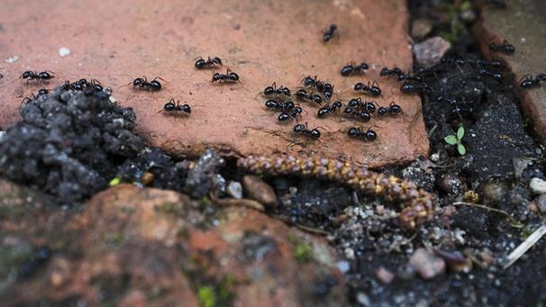 Was hilft gegen ameisen so werden sie ameisen los bayern 1 radio - Ameisen garten loswerden ...