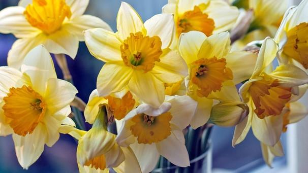 Narzissen Warum Die Frühlingsblumen Besser Alleine Stehen Bayern